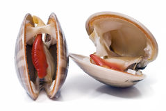Smooth clams alive. Stock Photos