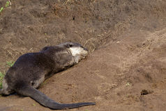 Smooth Coated Otter Stock Image