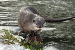 Smooth Coated Otter Stock Images