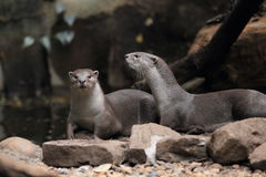 Smooth-coated otter Royalty Free Stock Image