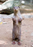 Smooth-coated otter. Smooth coated otter ( Lutrogale perspicillata Royalty Free Stock Photos