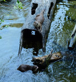Smooth-coated Otter (Lutrogale perspicillata) Royalty Free Stock Images