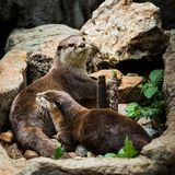 Smooth coated Otter - Lutrogale perspicillata - after a swim Royalty Free Stock Images