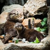Smooth coated Otter - Lutrogale perspicillata - after a swim Stock Images