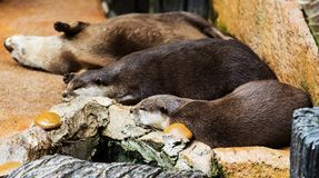Smooth coated Otter - Lutrogale perspicillata - after a swim Royalty Free Stock Photos