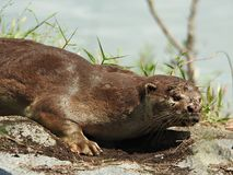Smooth Coated Otter Royalty Free Stock Images