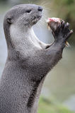 Smooth coated Otter portrait Stock Photos