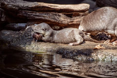 Smooth coated Otter portrait Royalty Free Stock Photos