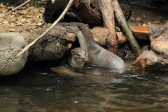 Smooth-coated otters Royalty Free Stock Images