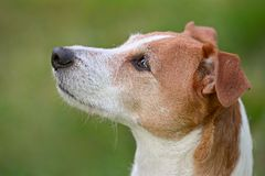 Smooth coated Parson Jack Russell Terrier portrait Royalty Free Stock Image
