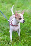 Smooth coated white with red Chihuahua puppy Stock Photo