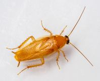 Smooth cockroach - Symploce pallens Royalty Free Stock Image
