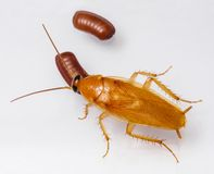 Smooth cockroach - Symploce pallens Royalty Free Stock Images