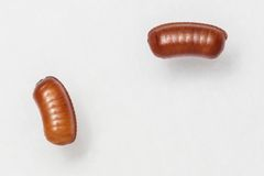 Smooth cockroach - Symploce pallens egg sacks Stock Photography