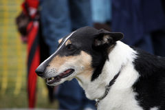 Smooth Collie. Profile of a Smooth Collie dog Stock Photos