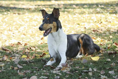 Smooth Collie dog Royalty Free Stock Image
