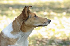 Smooth Collie dog Royalty Free Stock Images