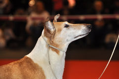 Smooth Collie dog Royalty Free Stock Photography