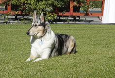 Smooth collie dog in yard Royalty Free Stock Photography