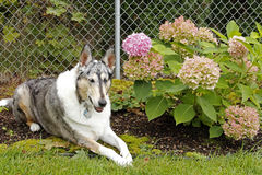 Smooth collie in garden Royalty Free Stock Image