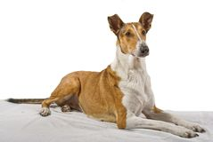 Smooth collie lying on the blanket with isolated background Royalty Free Stock Photo