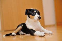 Smooth Collie puppy lying on the floor Royalty Free Stock Image