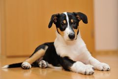 Smooth Collie puppy lying on the floor Royalty Free Stock Photo