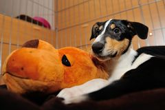 Smooth Collie puppy with orange toy on pillow Royalty Free Stock Photography