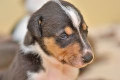 Smooth collie puppy Stock Image