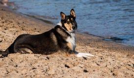 Smooth Collie purebred dog on beach. Purebred Smooth Collie dog sitting on beach at waters edge Royalty Free Stock Photo