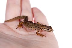 The smooth or common newt, Lissotriton vulgaris, on white. The smooth or common newt, Lissotriton or Triturus vulgaris, isolated on white Royalty Free Stock Photos