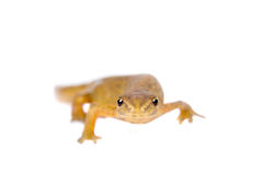 The smooth or common newt, Lissotriton vulgaris, on white Royalty Free Stock Image