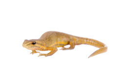 The smooth or common newt, Lissotriton vulgaris, on white. The smooth or common newt, Lissotriton or Triturus vulgaris, isolated on white stock photos