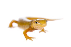 The smooth or common newt, Lissotriton vulgaris, on white Royalty Free Stock Photography