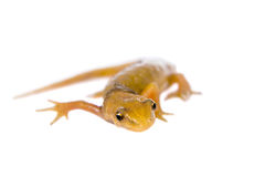The smooth or common newt, Lissotriton vulgaris, on white Stock Images