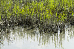 Smooth Cordgrass and Mud In An Inlet. Smooth cordgrass and mud in the brackish water coastal area in Murrells Inlet, South Carolina Royalty Free Stock Image