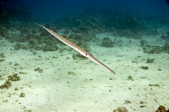 Smooth cornetfish (fistularia commersonii). Taken in Middle Garden Stock Photography