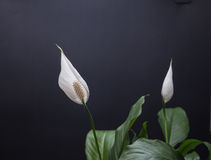 crane taro. Smooth and crane taro, perennial evergreen leaf plants, flowers like crane crane their necks, graceful, white, pure and quiet, and peaceful white Royalty Free Stock Photo