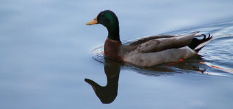 Smooth - Duck Royalty Free Stock Images