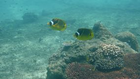 Smooth flutemouth and chaetodontidae butterflyfish at Padanbai, Bali stock video