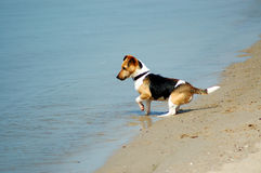Smooth fox terrier Royalty Free Stock Photo