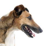 Smooth fox terrier Royalty Free Stock Image