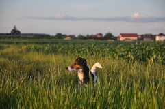 Smooth fox terrier. Cute smooth fox terrier walking on green grass Stock Photo