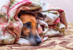 Smooth  Fox Terrier dog on couch under blanket Royalty Free Stock Photography