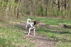 Dog shakes off water after bath. Smooth Fox Terrier enjoying a sunny day in the forest on spring season and shakes off water after mud bath Royalty Free Stock Images