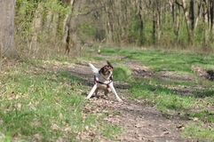 Dog shakes off water after bath. Smooth Fox Terrier enjoying a sunny day in the forest on spring season and shakes off water after mud bath Stock Photo