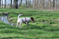 Dog shakes off water after bath. Smooth Fox Terrier enjoying a sunny day in the forest on spring season and shakes off water after mud bath Stock Photos