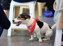 Smooth Fox Terrier. Smooth-haired fox terrier with a red neck scarf at the exhibition of domestic animals Stock Image