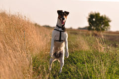 Dog on hind legs. Smooth Fox Terrier on hind legs royalty free stock photos