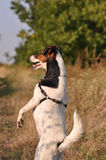 Dog on hind legs. Smooth Fox Terrier on hind legs stock images